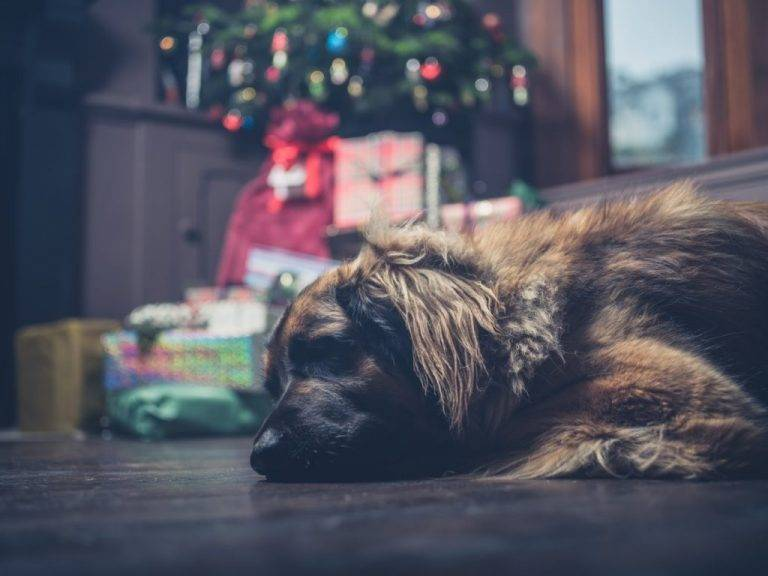 Popular Holiday Plants That Are Dangerous To Pets